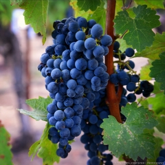 Napa Valley Grapes